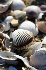 海岸に打ち上げられた貝殻1