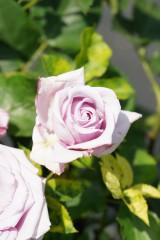 バラの花(万博公園)・薄紫2