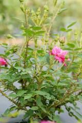 バラの花(ピンク)・全体