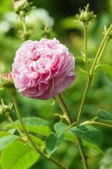 バラ 花・ピンク2