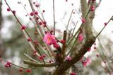 梅の花23