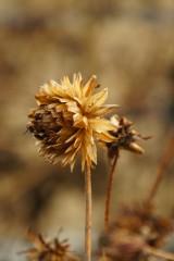 枯れたダリアの花