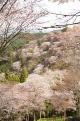 吉野・中千本 桜(4/15)