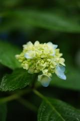 アジサイの花・黄緑6
