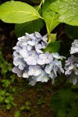アジサイ 花・青・薄紫17