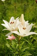 ユリ 花とつぼみ・白1