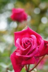 バラ 花・紅1