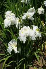 ショウブ 花・白1