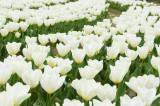 チューリップ(白)の花畑2
