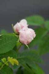 バラのつぼみ・紅と薄いピンク