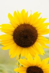 ひまわり 花・黄色1
