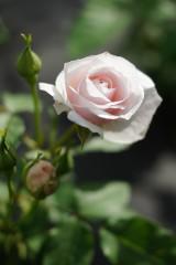 バラの花3・一輪(白・薄いピンク)