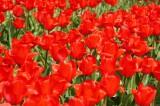 チューリップ(赤) 花畑5