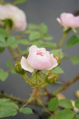バラのつぼみ・薄いピンク