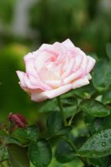 水滴 ついたバラ 花・薄いピンク