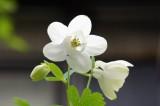 オダマキの花 白2