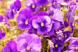 パンジー(紫)