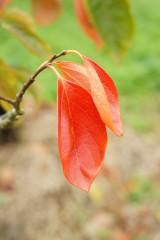 紅葉 柿の葉2