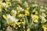 白いチューリップの花畑2