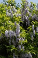 藤の花・複数・自生