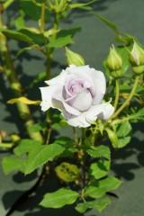 バラの花・薄紫1