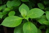 アジサイの葉2