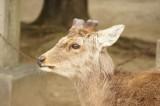 奈良 鹿・側面5