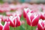 チューリップ(赤と白)の花畑3
