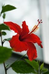 ハイビスカスの花1