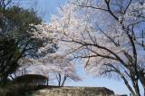 明日香村・甘樫丘展望台の桜