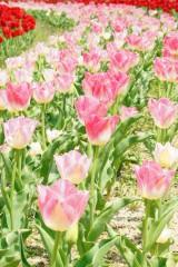 チューリップ(ピンク)の花畑2