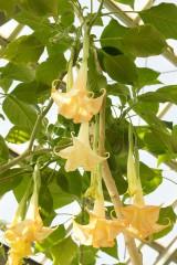 キダチチョウセンアサガオ 花
