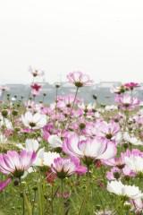 コスモス 花畑12