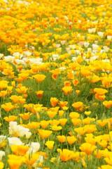 ハナビシソウ 花畑5