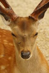 奈良の鹿・正面5