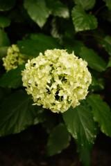アジサイの花・黄緑4