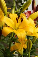 ユリの花・黄色2