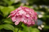 アジサイの花・ピンク10
