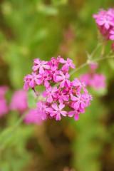 シレネ・コマチソウの花