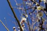梅の木とハチ