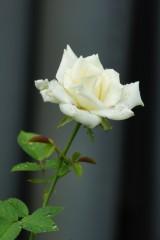 水滴のついたバラ 花・白