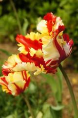 チューリップの花 赤と黄色