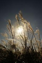 太陽とススキ(暗め)1