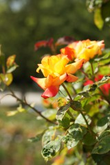 バラ 花(万博公園)・赤と黄色10