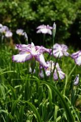 ショウブ 花・紫と白6