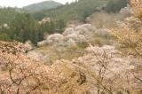 吉野・上千本付近 桜(4/15)