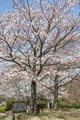 明日香村・石舞台 桜12
