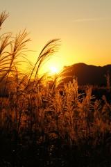 夕焼けと金色のススキ2
