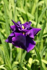 ショウブ 花・紫2