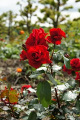 バラ 花畑・紅(明るめ)4